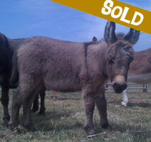 Sold: George, miniature donkey