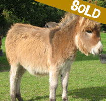 Harry, miniature donkey for sale