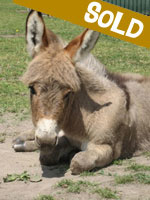 Hebe, miniature donkey for sale